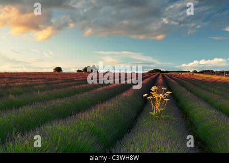 Setting sun paints the beautiful lavender fields near Snowshill in Gloucesershire, England - Stock Photo