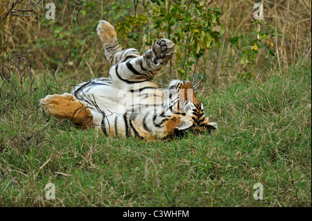 Tiger rolling in green grass of Ranthambhore after the monsoon rains - Stock Photo