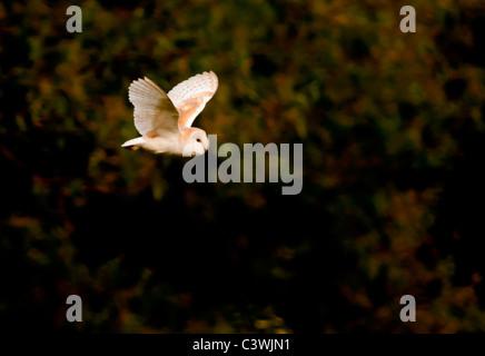 Barn Owl (Tyto Alba) hunting for prey, Warwickshire - Stock Photo