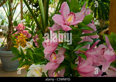 Cymbidium Orchids, grown in family farm at Rancho Encino, near Ventura, California - Stock Photo