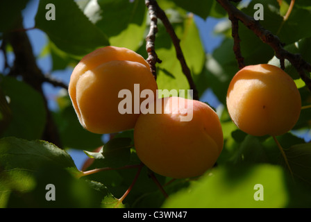 apricots growing on a tree, Alicante Province, Valencia, Spain - Stock Photo