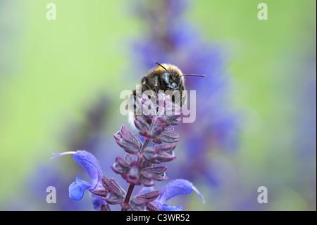 Bombus Lucorum. Bumble bee on a Salvia flower in an english garden - Stock Photo