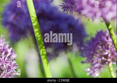 Allium 'Globemaster'. flowers stems sunlight and shadows abstract - Stock Photo