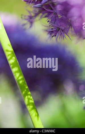 Allium 'Globemaster'. flowers stems sunlight and shadows abstract - Stock Photo