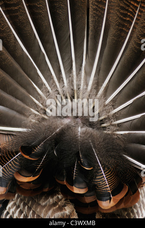 Wild Turkey (Meleagris gallopavo), tail feathers male displaying, New Braunfels, San Antonio, Hill Country, Central - Stock Photo