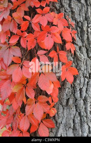 Virginia creeper (Parthenocissus quinquefolia), climbing on Live Oak (Quercus virginiana) with fall colors, Kerrville, - Stock Photo