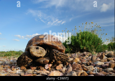 Texas Tortoise (Gopherus berlandieri), adult walking, Laredo, Webb County, South Texas, USA - Stock Photo