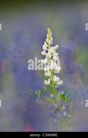 Texas Bluebonnet (Lupinus texensis), white flower morph blooming, Gonzales County, Texas, USA - Stock Photo