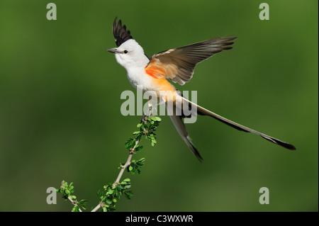 Scissor-tailed Flycatcher (Tyrannus forficatus), adult male singing on perch, Laredo, Webb County, South Texas, - Stock Photo