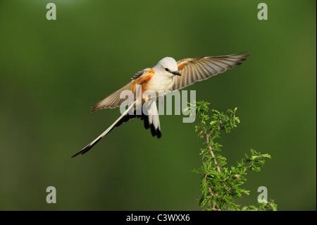 Scissor-tailed Flycatcher (Tyrannus forficatus), adult female in flight, Laredo, Webb County, South Texas, USA - Stock Photo