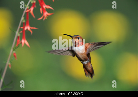 Rufous Hummingbird (Selasphorus rufus), male in flight feeding on Scarlet Gilia (Ipomopsis aggregata), New Mexico - Stock Photo