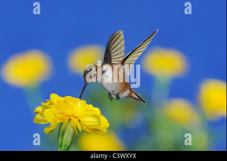 Rufous Hummingbird (Selasphorus rufus), young male in flight feeding on Marigold (Tagetes sp.), Gila National Forest, - Stock Photo