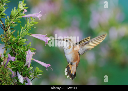 Rufous Hummingbird (Selasphorus rufus), female in flight feeding on Mexican Oregano (Poliomintha maderensis), New - Stock Photo