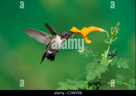 Ruby-throated Hummingbird (Archilochus colubris), male in flight feeding on Honeysuckle flower, Hill Country, Central - Stock Photo