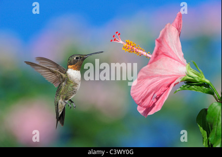 Ruby-throated Hummingbird (Archilochus colubris), male in flight feeding on Hibiscus flower, Hill Country, Central - Stock Photo