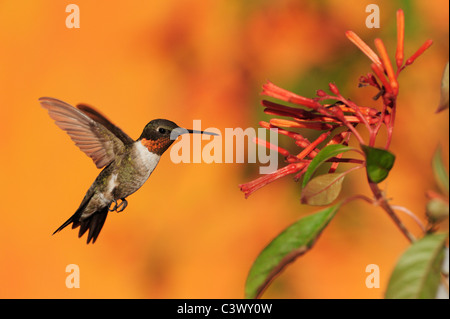 Ruby-throated Hummingbird (Archilochus colubris), male in flight feeding on Firebush (Hamelia patens) flower, Texas - Stock Photo