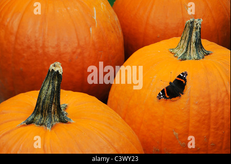 Red Admiral (Vanessa atalanta), adult on Pumpkin, Comal County, Hill Country, Central Texas, USA - Stock Photo