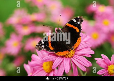 Red Admiral (Vanessa atalanta), adult on Gerbera Daisy (Gerbera sp.), Comal County, Hill Country, Central Texas, - Stock Photo