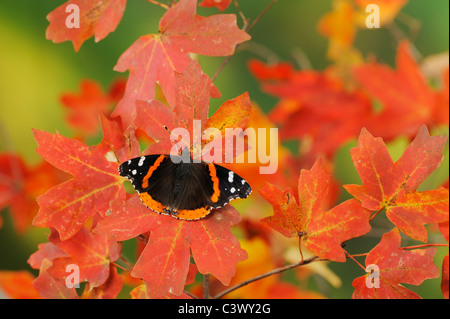 Red Admiral (Vanessa atalanta), perched on Bigtooth Maple (Acer grandidentatum), Lost Maples State Park, Hill Country, - Stock Photo