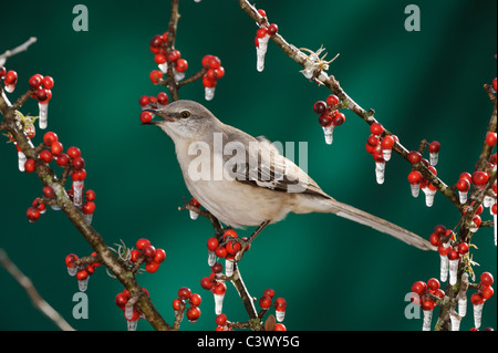 Northern Mockingbird (Mimus polyglottos), adult eating on ice covered Possum Haw Holly (Ilex decidua) berries, Texas - Stock Photo