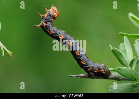 Measuringworm Moth (Geometridae), caterpillar, Laredo, Webb County, South Texas, USA - Stock Photo