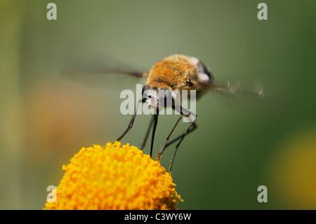 Large Bee Fly (Bombylius sp.), adult in flight feeding on Saladillo (Varilla texana), Laredo, Webb County, Texas, - Stock Photo
