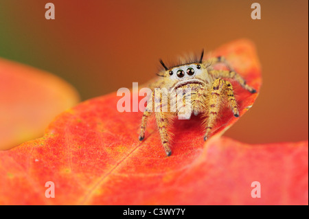 Jumping Spider (Salticidae), perched on Bigtooth Maple(Acer grandidentatum), Lost Maples State Park, Hill Country, - Stock Photo