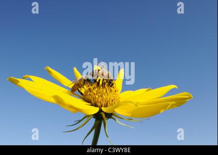 Honey Bee (Apis mellifera), adult feeding on Maximilians Sunflower (Helianthus maximilianii), Comal County, Hill - Stock Photo