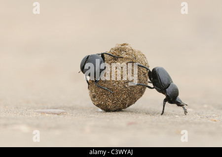 Dung Beetle (Scarabaeinae), adults rolling dung ball, Laredo, Webb County, South Texas, USA - Stock Photo