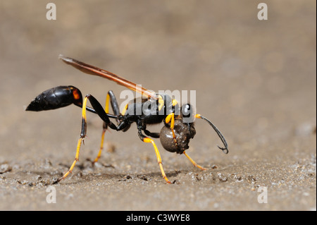 Black and yellow Mud Dauber (Sceliphron caementarium), female collecting mud for nest, Comal County, Hill Country, - Stock Photo