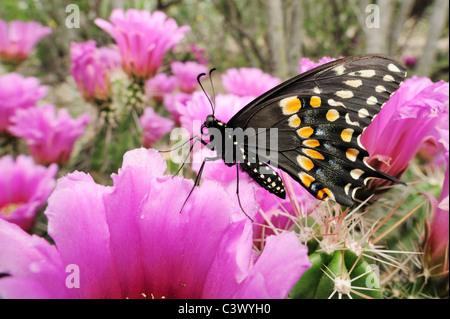 Black Swallowtail (Papilio polyxenes), male feeding on Strawberry Hedgehog Cactus (Echinocereus enneacanthus), Laredo, - Stock Photo