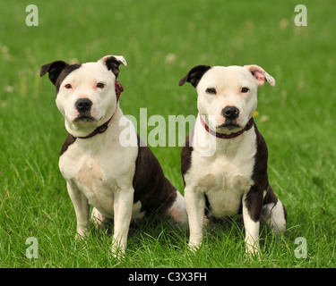 two staffordshire bull terriers - Stock Photo