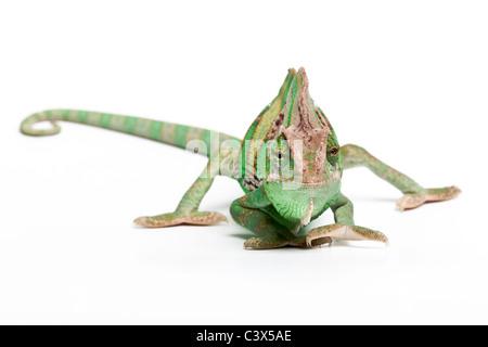 Veiled chameleon, Yemen chameleon, Chamaeleo calyptratus, male, Arabian Peninsula - Stock Photo