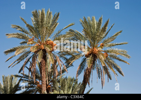 Date Palm (Phoenix dactylifera) with bunches of ripe dates ready to be harvested. Morocco. - Stock Photo