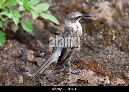 Galápagos Mockingbird (Mimus parvulus), Genovesa Tower Island, Galapagos Islands, Ecuador - Stock Photo