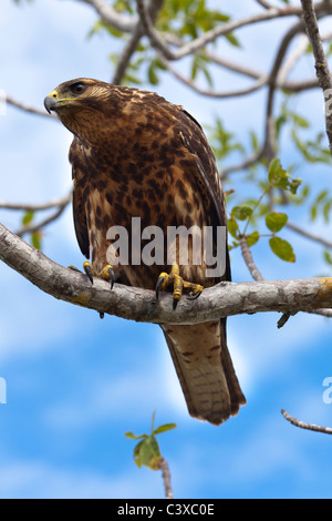 The Galápagos Hawk (Buteo galapagoensis) perching on a branch, Isabela island, Galapagos Islands Ecuador - Stock Photo