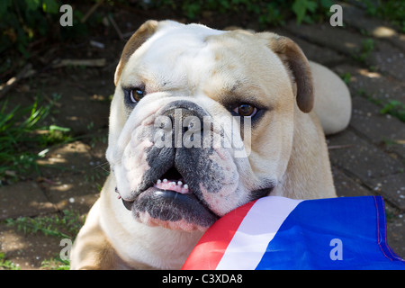 British Bulldog with union jack flag - Stock Photo