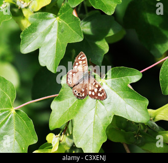 Speckled wood - Pararge aegeria butterfly - Stock Photo