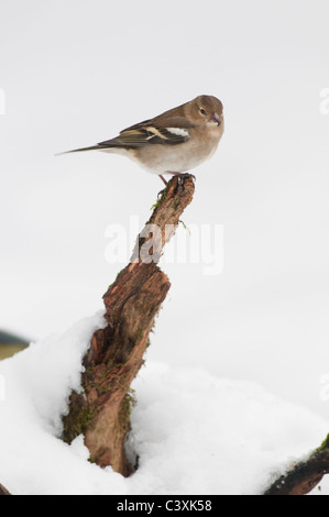 Chaffinch (Fringilla coelebs) adult female, perched on snow, Kent, England, January, - Stock Photo