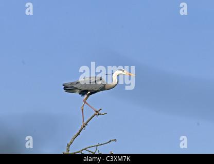 GREY HERON ARDEA CINEREA PERCHED ON BRANCH. SPRING. - Stock Photo