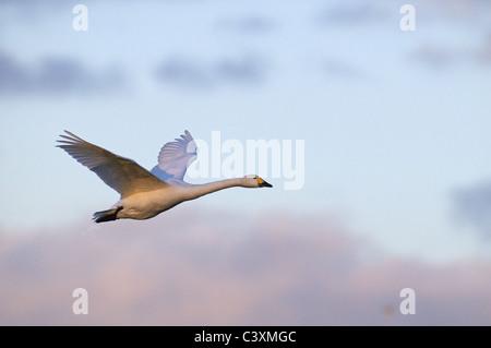 BEWICK'S SWAN CYGNUS COLUMBIANUS IN FLIGHT AT SLIMBRIDGE - Stock Photo
