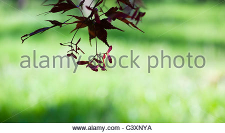 Japanese Maple. Acer palmatum 'momiji gawa' tree leaves and seed pods against light green background - Stock Photo