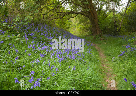 Worcestershire England UK May bluebells line a path through a wooded part of Malvern Hills - Stock Photo