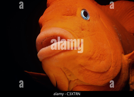 Garibaldi (Hypsypops rubicundus), the State Fish of California. Southern California, USA. Pacific Ocean. - Stock Photo