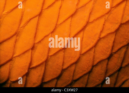 Scales of a Garibaldi (Hypsypops rubicundus), the State Fish of California. Southern California, USA. Pacific Ocean. - Stock Photo