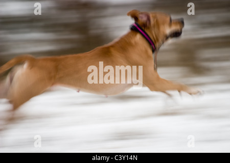 Amstaff in motion - Stock Photo
