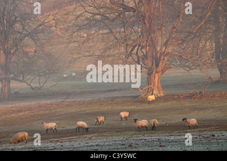 Sheep grazing, foggy winter afternoon, Stanway, Gloucestershire, Cotswolds, UK - Stock Photo