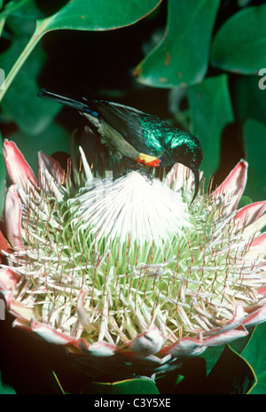 Greater double-collared sunbird (Cinnyris afer) male taking nectar from a king protea (Protea cynaroides), South - Stock Photo