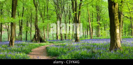 Beech woods and carpets of Bluebells, West Woods, Marlborough, Wiltshire, England. Spring (May) 2009. - Stock Photo