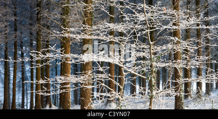 Snow and ice covered trees in a pine woodland, Morchard Wood, Morchard Woodland, Devon, England. Winter (December) - Stock Photo